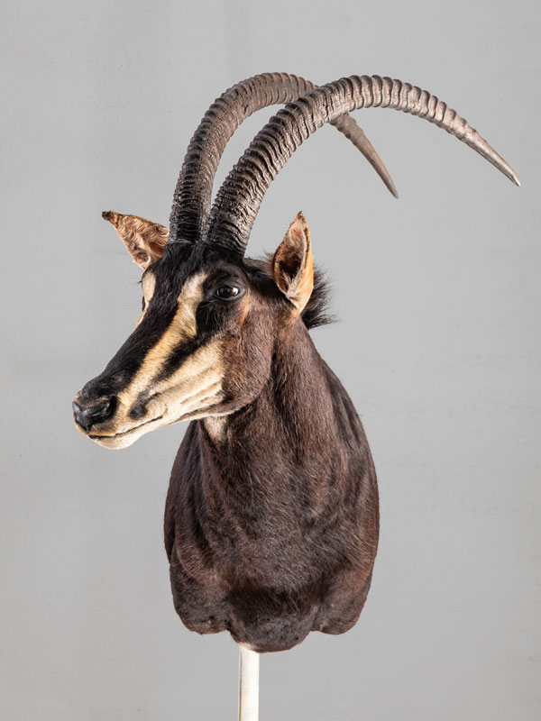 sable africano